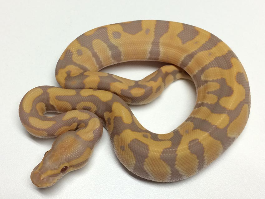 Ball Python Food List