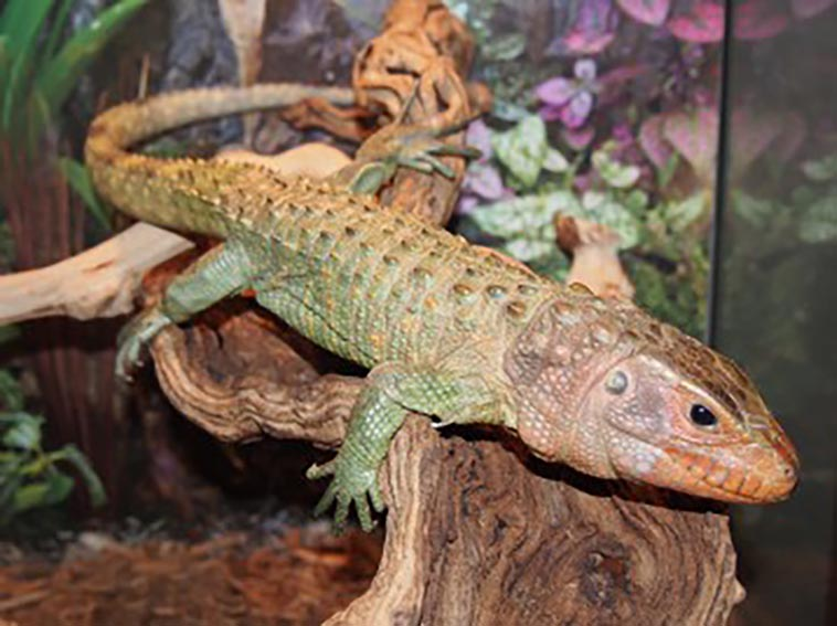 The Caiman Lizard Your Very Own Faux Crocodile