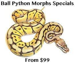 Ball Python Specials