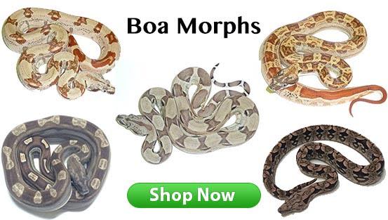 boas for sale