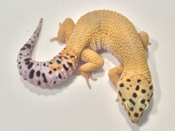 Adult Super Hypo Carrot Tail Leopard Gecko