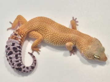 Adult Super Hypo Carrot Tail Baldy Leopard Gecko