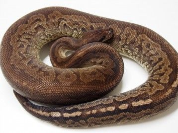 Adult Gargoyle Ball Pythons