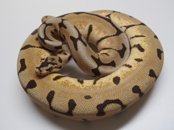 Adult Desert Spider Ball Pythons