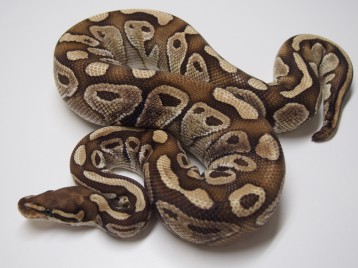 Adult Paradox Lesser Ball Pythons