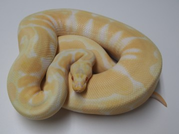 Adult Pastel Albino Ball Pythons
