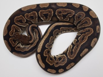 Adult Brass Ball Pythons