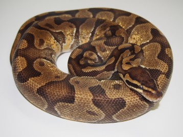 Adult Enchi Ball Pythons