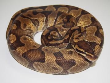 Adult Enchi Ball Pythons