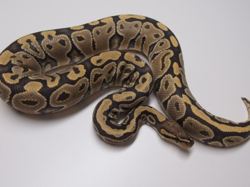 Adult Ghost Ball Pythons