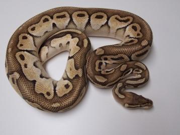 Adult Pastel Butter het Genetic Stripe Ball Pythons