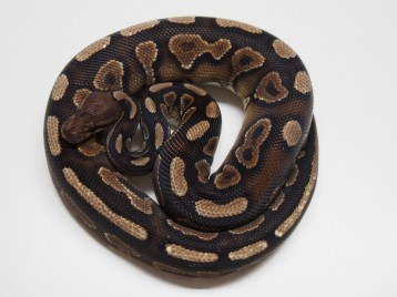 Adult Cinnamon Yellowbelly Ball Pythons