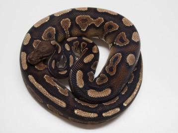 Adult Cinnamon Yellowbelly Ball Pythons