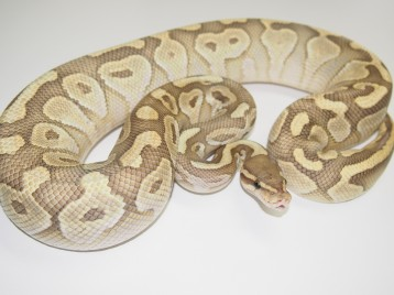 Adult Butter Ghost Ball Pythons