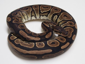 Adult Cinnamon Ball Pythons
