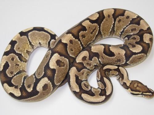Adult Spark Ball Pythons