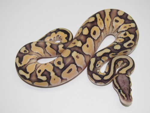 Baby Pastel Butter het Genetic Stripe Ball Python