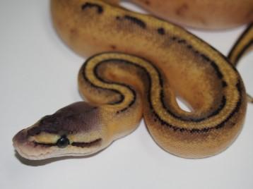Baby Pastel Genetic Stripe Ball Python
