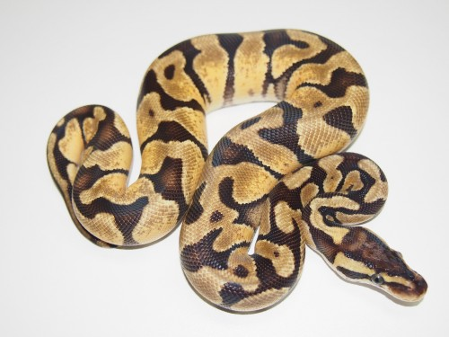 Baby Pastel Enchi Ball Python