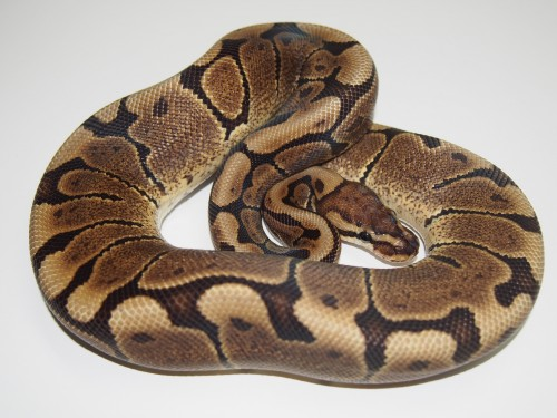 Baby Woma Ball Python