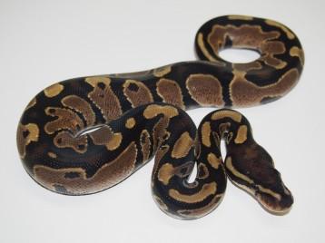 Baby Het Pied Ball Python