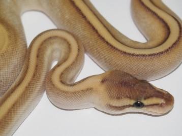 Baby Butter Genetic Stripe Ball Python