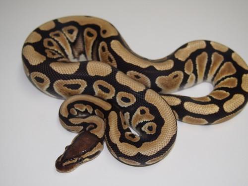 Baby Desert Ball Python