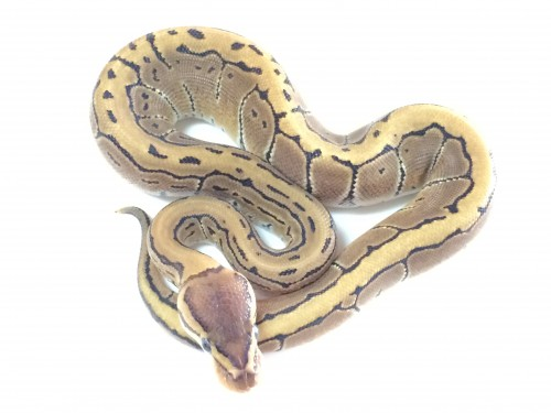 Baby Pinstripe Ball Python