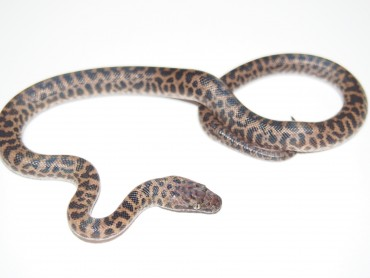 spotted python for sale