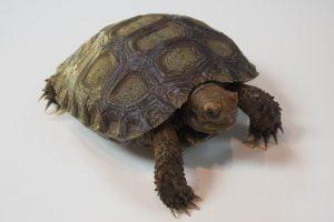 Burmese Mountain Tortoise