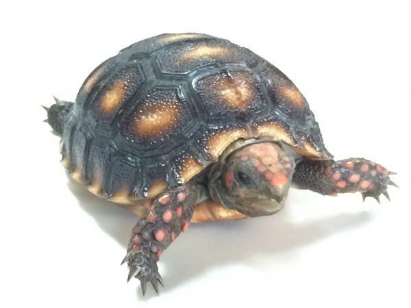Cherry Head Red Foot Tortoise for Sale