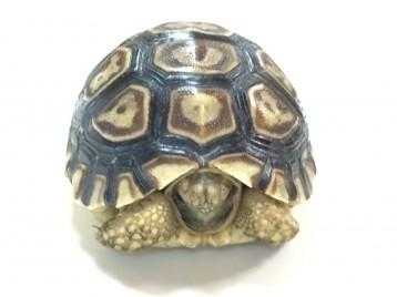 Leopard Tortoise for Sale
