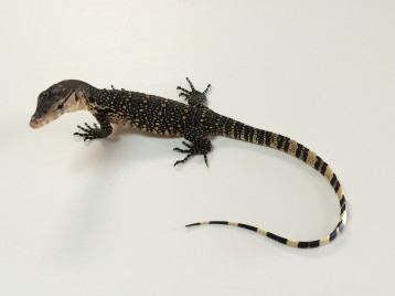 Asian Water Monitor for Sale