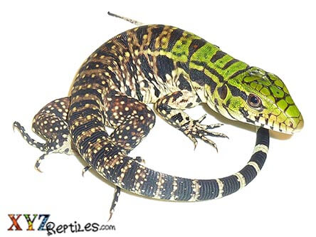 argentine black and white tegu for sale