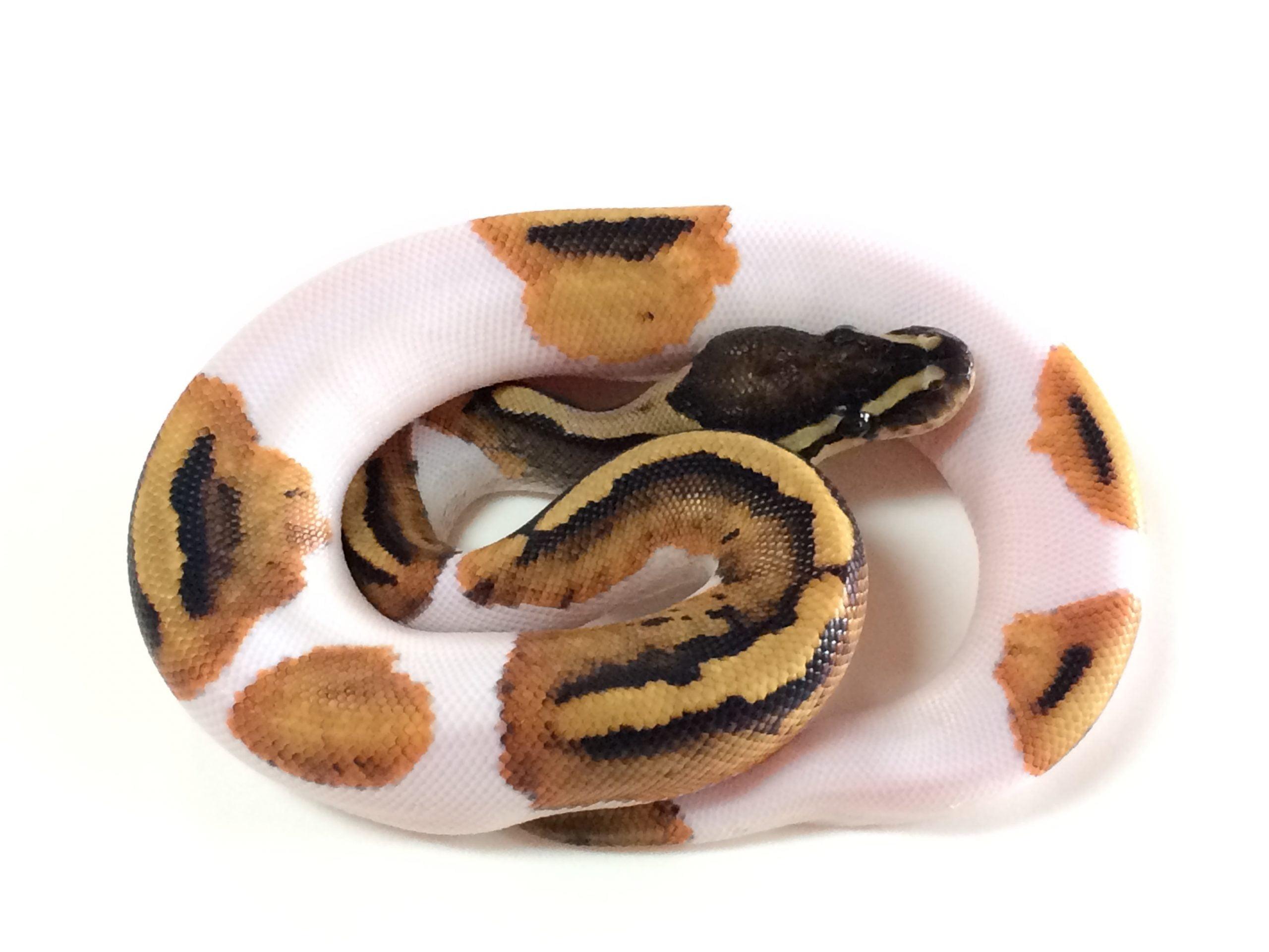 Pied Ball Python