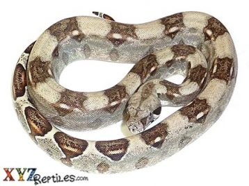 baby boa constrictor for sale