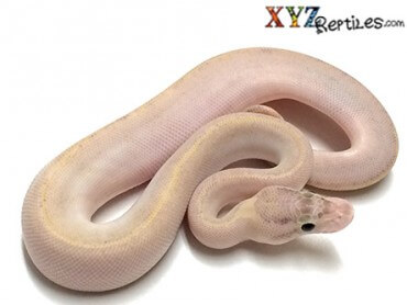 Ivory Ball Python for sale