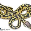 desert ball python for sale
