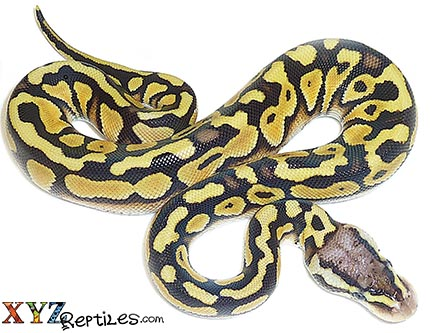 desert ball python for sale