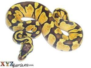 pastel enchi ball python for sale
