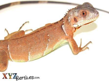 Red Iguana for Sale - xyzReptiles