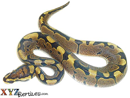 woma ball python for sale