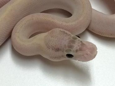 Ivory Ball Python for sale