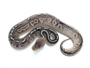 Baby Pewter Ball Python