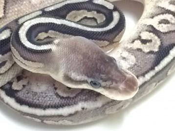 Baby Pewter Ball Python