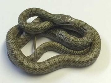 Kunashir Island Rat Snake 1ps