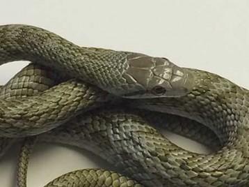 Kunashir Island Rat Snake