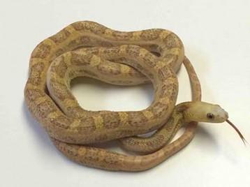Scaleless Everglads Rat Snake