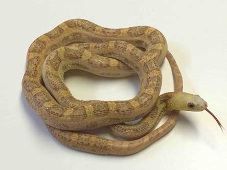 Scaleless Everglads Rat Snake