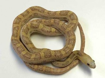 Scaleless Everglades Rat Snake